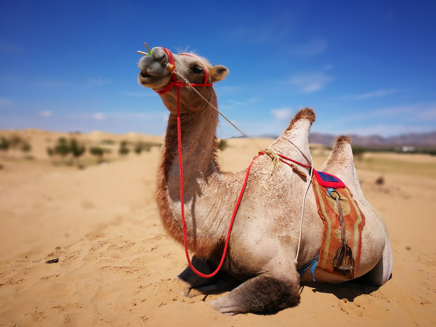 Camel in the sands