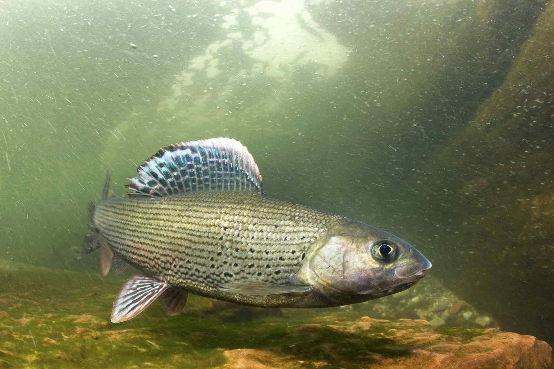 Grayling fishing in Mongolia