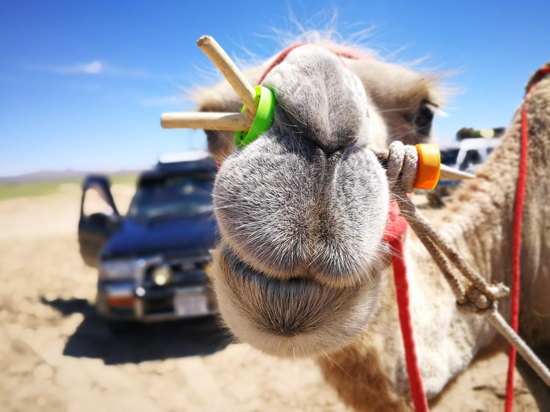 Camel close shot