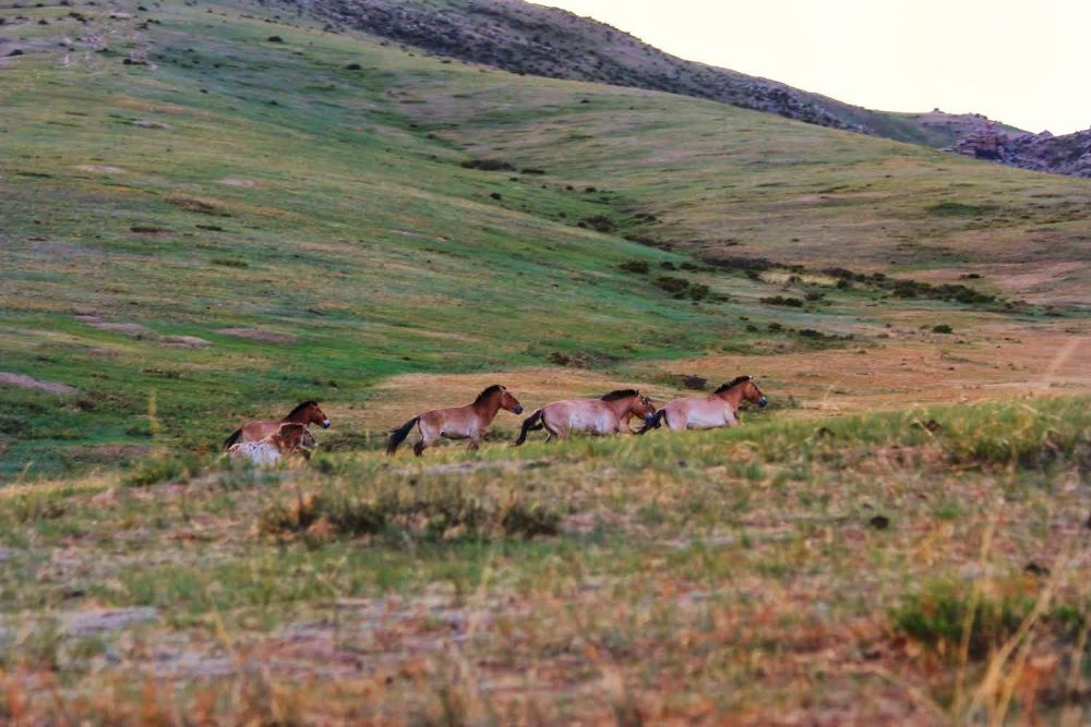 Khustain National Park Wild horses running in mongolia