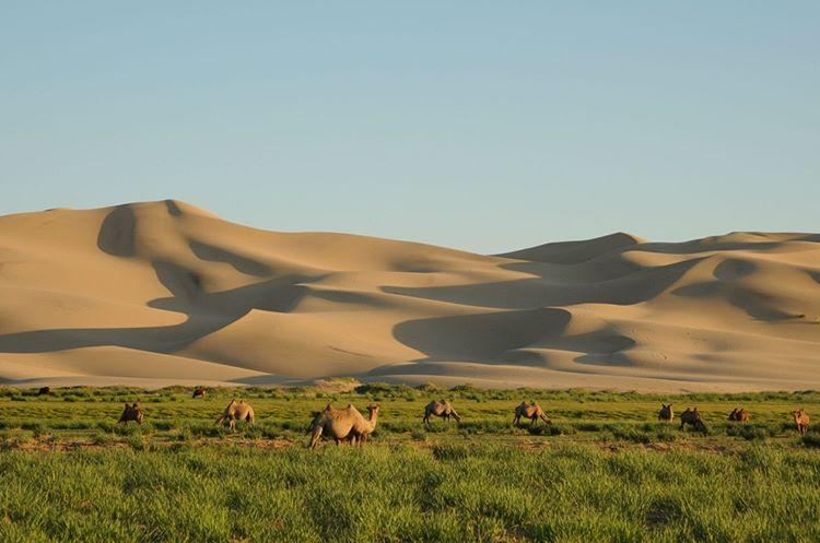 gobi-camels